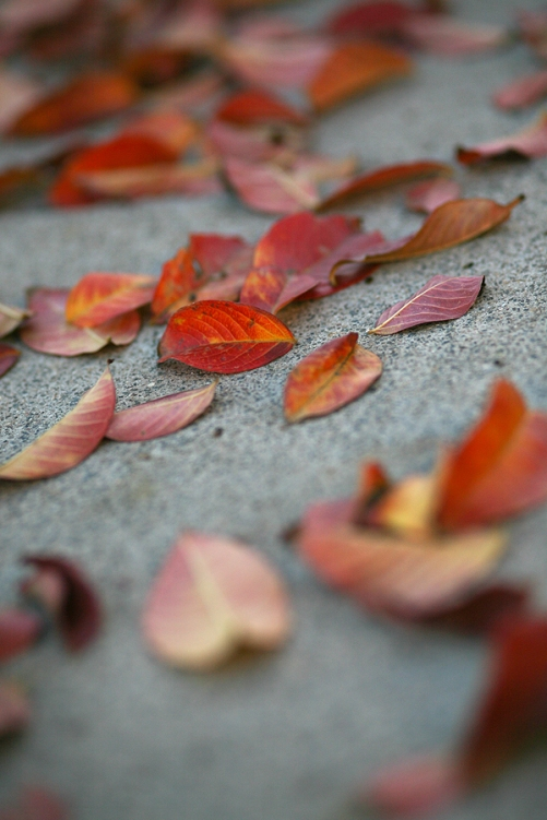 First Fallen Leaves-New Tree sf