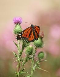 Monarch with Broken Wing