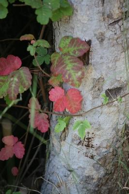 Poision Oak