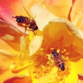 Honey Bees on Joseph's Coat Rose