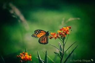 monarchgreensf
