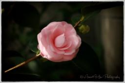 pink-cameliasf