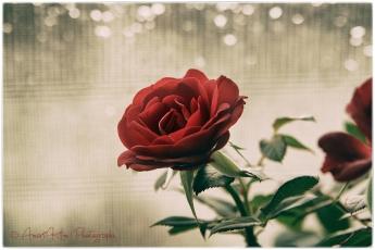 rosesparklesf