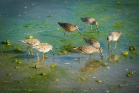 SandPipers Green