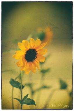 vintage-sunflower-sf