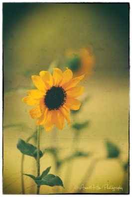 vintage-sunflower-sf