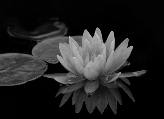 Mission SJC Water Lilly