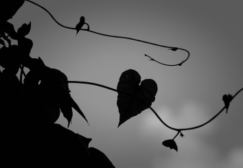 Heart Shaped Morning Glory BW