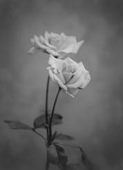 Rose Duo