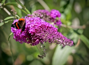 Red Admiral Butterfly on Butterfly Bush