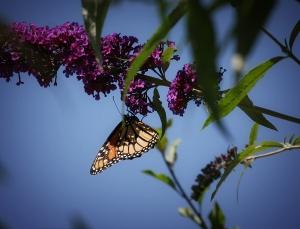 Monarach on Butterfly Bush