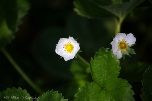 Lovely Strawberry Blossoms