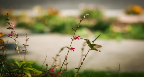 Annas Hummingbird1sf