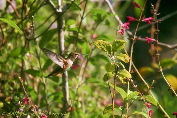 Annas Hummingbird2 sf