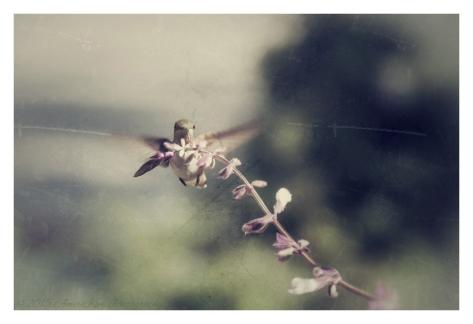 Annas Hummingbird4 sf_Snapseed