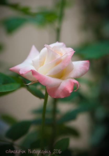 PrincessDi Rose sf