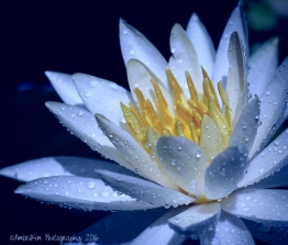 Toned WaterLily sf