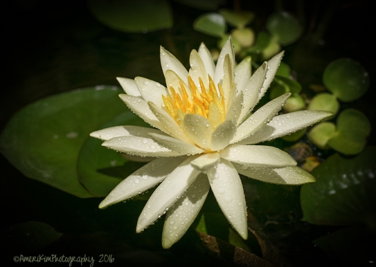 WaterLily3sf