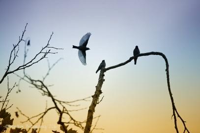 Sunrise WesternBluebirdssf