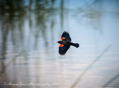 Red Winged Blackbird-in-Flight