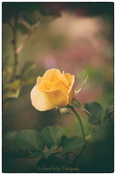 yellowroseanalogsf