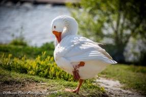 Eldo Goose2 SF