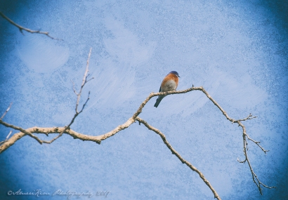 WesternBluebird Painted-SF