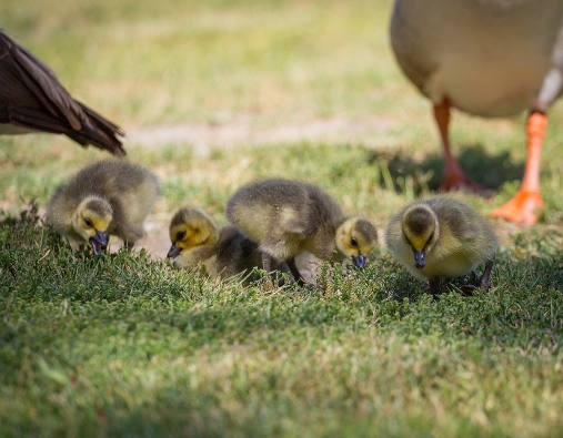 Baby Canadian Geese1