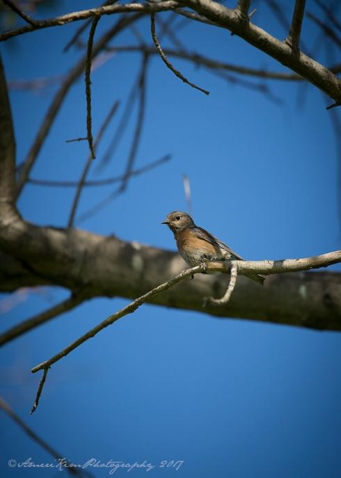 WBluebird4sf