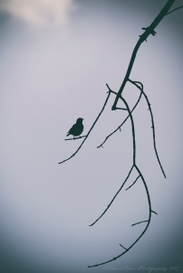 WBluebirdSilhouettesf