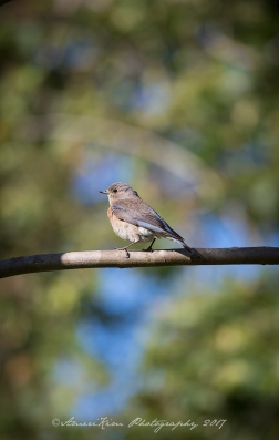 WesternBluebird5sf