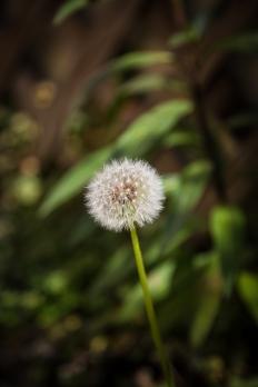 Dandelion1sf